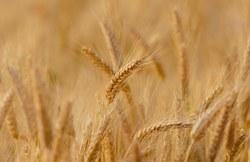 Commission communale agricole de dégâts aux cultures : premier constat