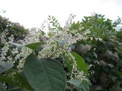 Comment réagir face aux renouées asiatiques (plantes invasives) ?