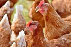 Grippe aviaire H5 : état des lieux de la situation en Belgique
