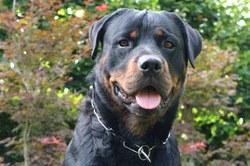 Enregistrement et détention d'un chien dangereux